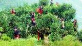 Công nhận cây Di sản Việt Nam cho quần thể 220 cây chè Shan tuyết cổ thụ ở Hà Giang
