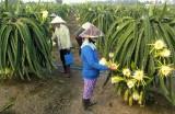 Châu Thành (Long An): Diện tích trồng thanh long tiếp tục tăng