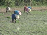 Vụ lúa Hè Thu: Gieo sạ muộn - nông dân gặp nhiều khó khăn