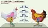 Gà Việt khủng hoảng với đùi gà Mỹ rẻ như rau