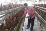 Long An:  Chăn nuôi thua lỗ - nhiều nông dân không muốn tái đàn