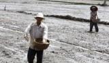 Cần Giuộc-Long An: Gieo sạ lúa Hè Thu đạt 100% kế hoạch