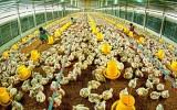 """Ngành chăn nuôi Việt Nam là """"vật hy sinh"""" cho TPP?"""