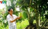 Nông dân Đồng Tháp kiếm hơn 100 triệu từ trồng xoài
