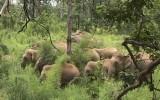 Đắc Lắc: Đàn voi rừng về phá hoa màu