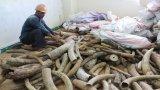 Tận mắt xem hơn 2 tấn ngà voi nhập lậu về cảng Đà Nẵng