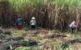 Giải pháp nào giúp nông dân tiếp tục gắn bó với cây mía?