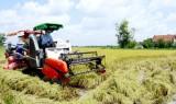 Nông dân Cần Đước lúa Hè Thu lãi không cao