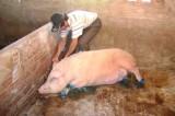 Tái phát dịch lở mồm long móng gia súc ở tỉnh Sóc Trăng