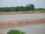 Trà Vinh: Hàng ngàn hécta nuôi tôm sú tiếp tục bị bỏ hoang