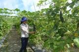 Hàng nông sản được mùa, mất giá do dự báo kém