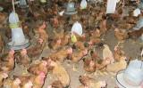 Phát hiện chất vàng-ô trong thịt gà có thể gây ung thư