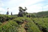 Doanh nhân Hà Thúy Linh: Chuyển ngang làm... nông dân và đeo đuổi sự nghiệp trà Ô Long suốt đời