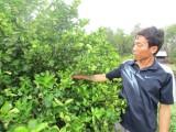 Dịch bệnh bùng phát trên cây chanh