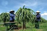 """Bình Thuận sản xuất """"thanh long sạch"""" tìm thị trường mới"""