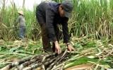 Nông dân trồng mía Hậu Giang phấn khởi vì trúng mùa, trúng giá