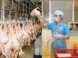 Công bố cấm 5 loại chất tạo màu vàng cho thịt gà có thể gây ung thư