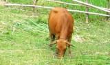 Trả lại bò đã trộm vì sợ bị phạt tù