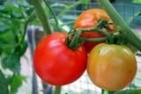 Những cấm kỵ tuyệt đối không được mắc khi ăn cà chua