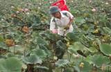 Trồng sen giúp nông dân tăng thu nhập