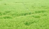Tân Hưng hơn 60ha lúa Đông Xuân bị chuột cắn phá