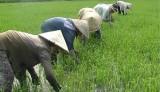 Đức Hòa tập trung chăm sóc lúa đông xuân