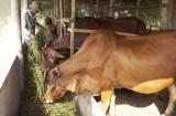 Hiệu quả từ tổ hợp tác nuôi bò