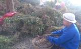 Thu hoạch đậu phộng vụ đông xuân sớm