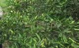 Nông dân lưu ý khi lấy nước tưới chanh vào mùa khô