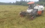 Giá lúa ĐBSCL tăng cao: Nhà nông hớn hở, doanh nghiệp lo lắng