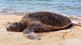 Thừa Thiên – Huế: Cá thể vích quý hiếm lạc vào nò sáo của ngư dân
