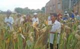 Đức Hòa – Long An: Mô hình trồng bắp lai thích ứng biến đổi khí hậu