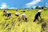 Giá lúa gạo tăng cao, doanh nghiệp phải đồng hành với nông dân