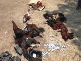 Đồng Tháp: Phá trường gà thu giữ trên 100 triệu đồng