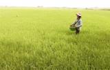Tân Hưng hơn 4 ngàn hecta lúa Hè Thu nhiễm sâu bệnh