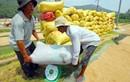 Giá lúa ĐBSCL giảm mạnh