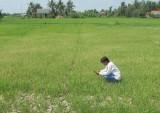 Long An: Hỗ trợ nông dân thiệt hại do hạn, mặn
