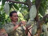 Diện tích cây cacao cả nước tăng lên 50.000ha vào năm 2020