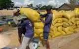 Nông dân Tân Hưng thu hoạch lúa Xuân Hè trúng mùa được giá