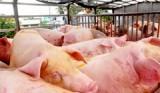 Người chăn nuôi lại điêu đứng vì giá heo giảm mạnh