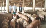 Làm giàu từ mô hình chăn nuôi khép kín