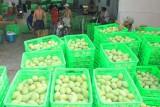 ĐBSCL: Giá trái cây tăng cao, nhà vườn phấn khởi