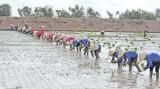 Vụ Hè Thu 2016: Nông dân cần gieo sạ đúng lịch thời vụ
