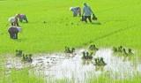 Mộc Hóa: Vụ lúa Hè Thu, xuống giống 21.400ha