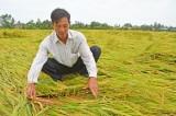 Vĩnh Hưng: Mưa lớn, hàng trăm hecta lúa ngã đổ