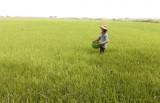 Tân Hưng: Xuống giống hơn 16.000ha lúa Thu Đông