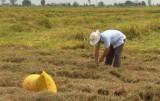 Mộc Hóa: Nông dân thất thu gần 8 triệu đồng/ha lúa do mưa bão