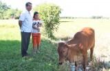 Hỗ trợ bò cho gia đình nạn nhân chất độc da cam