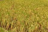 Trung tâm Đồng Tháp Mười lai tạo, chọn lọc thành công 17 dòng/giống lúa triển vọng