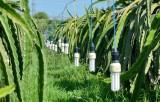 Hỗ trợ nông dân trồng thanh long thay đèn tròn sợi đốt bằng đèn compact tiết kiệm điện